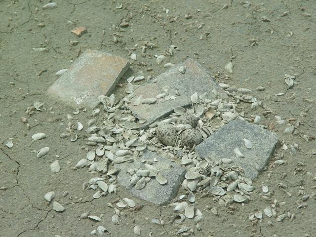 洲南鹽場整建過程中,常有野鳥來築巢 (提供者:蔡炅樵)
